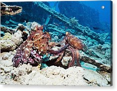 Mating Pair Of Day Octopuses Acrylic Print by Georgette Douwma