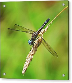 Acrylic Print featuring the photograph Meadowhawk by Rodney Campbell