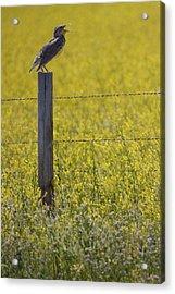 Meadowlark Singing Acrylic Print by Randall Nyhof