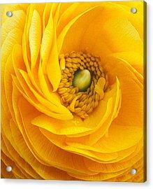 Mellow Yellow Acrylic Print by Kathy Yates