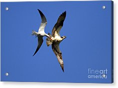 Mid-air Attack Acrylic Print by Mike  Dawson