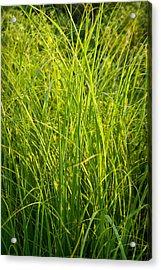 Midwest Prairie Grasses Acrylic Print by Steve Gadomski
