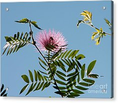 Mimosa Flower  Acrylic Print by Theresa Willingham