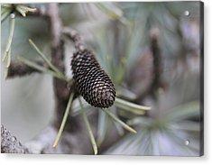 Miniature Pine Cone  Acrylic Print by Douglas Barnard