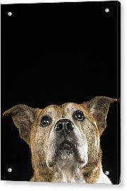 Mixed Breed Dog Looking Up Acrylic Print by Ryan McVay