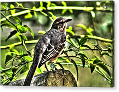 Mocking Bird Picture 2 Acrylic Print by Ester  Rogers