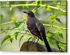 Mocking Bird Picture 3 Acrylic Print by Ester  Rogers