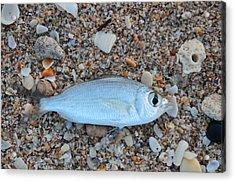 Mojarra On Sea Shells Acrylic Print by Ken  Collette