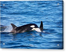 Mom And Baby Killer Whale Acrylic Print by Ivan SABO