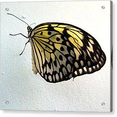 Monarch Butterflie Acrylic Print by Joyce Woodhouse