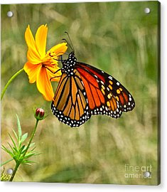 Monarch Butterfly And Yellow Cosmos Acrylic Print by Byron Varvarigos