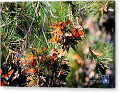 Monarch Butterfly Gathering Acrylic Print by Tap  On Photo