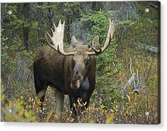 Moose Alces Alces In The Forest Alberta Acrylic Print by Philippe Widling
