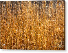 Morning Sunshine On The Marsh Acrylic Print by Carol Groenen