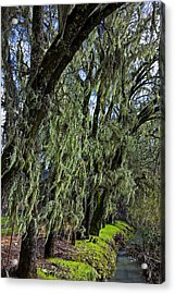 Moss Covered Trees Acrylic Print by Garry Gay