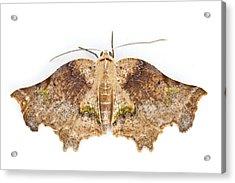 Moth Braulio Carrillo Np Costa Rica Acrylic Print by Piotr Naskrecki
