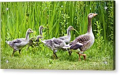 Mother Goose Leading Goslings Acrylic Print by Simon Bratt Photography LRPS