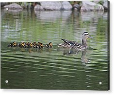 Mother Mallard And Ducklings Acrylic Print by Jeanne Kay Juhos