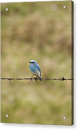 Mountain Bluebird On A Fence Wire Acrylic Print by Philippe Widling