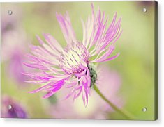 Mountain Cornflower Pink Acrylic Print by Leentje photography by Helaine Weide