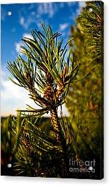 Mugo Pine Branch Acrylic Print by Terry Elniski