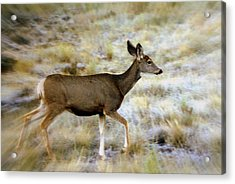 Mule Deer On The Move Acrylic Print by Marty Koch
