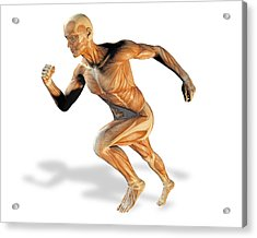 Muscular System Acrylic Print by Victor Habbick Visions