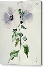 Musk Mallow Acrylic Print by Marie-Anne