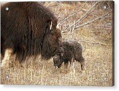 Musk Ox Cow And New Calf Acrylic Print by Joseph Rychetnik