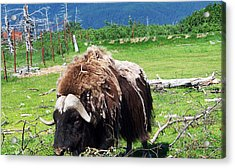 Musk Oxen Acrylic Print by Aimee L Maher Photography and Art Visit ALMGallerydotcom