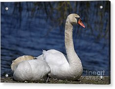Mute Swans By Lagoon Acrylic Print by Sharon Talson