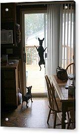 My Dog Can Fly Or Levitating Dog Acrylic Print by Rick Rauzi