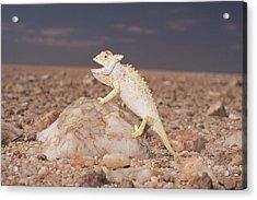 Namaqua Chameleon Chamaeleo Namaquensis Acrylic Print by Michael & Patricia Fogden