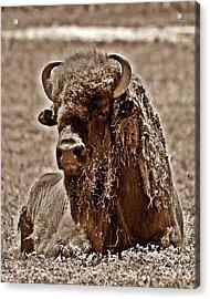 Napping Bison Acrylic Print by Monica Wheelus