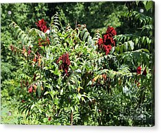Natchez Trace Wild Sumac Acrylic Print by Theresa Willingham