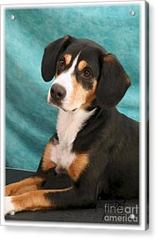 New Breed Entlebucher Pup Acrylic Print by Maxine Bochnia