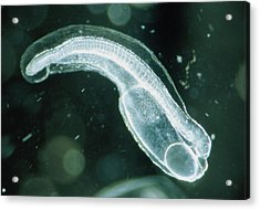 Newly-hatched Glass Eel Embryo, Anguilla Japonica Acrylic Print by Sinclair Stammers