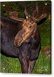 Night Moose 1 Acrylic Print by Lloyd Alexander