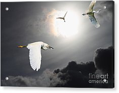 Night Of The White Egrets Acrylic Print by Wingsdomain Art and Photography