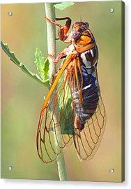 Noisy Cicada Acrylic Print by Shane Bechler