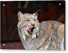 North American Lynx Acrylic Print by Paul Fell