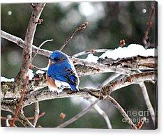 Northern Bluebird Acrylic Print by Lila Fisher-Wenzel