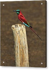 Northern Carmine Bee-eater Acrylic Print by Tony Beck