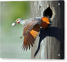 Northern Flicker Acrylic Print by CR Courson