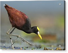 Northern Jacana Foraging Costa Rica Acrylic Print by Tim Fitzharris