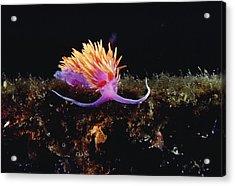 Nudibranch Brightly Colored Arctic Ocean Acrylic Print by Flip Nicklin