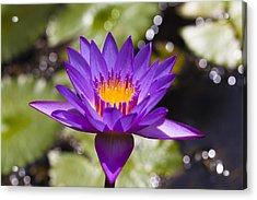 Nymphaea Caerulea Water Lily, Mahe, Seychelles Acrylic Print by F. Lukasseck