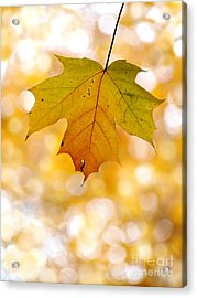 October Maple Leaf Acrylic Print by Angie Rea