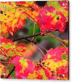 October Maple Acrylic Print by Mandi Howard
