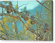 October Pine Acrylic Print by Bonnie Bruno
